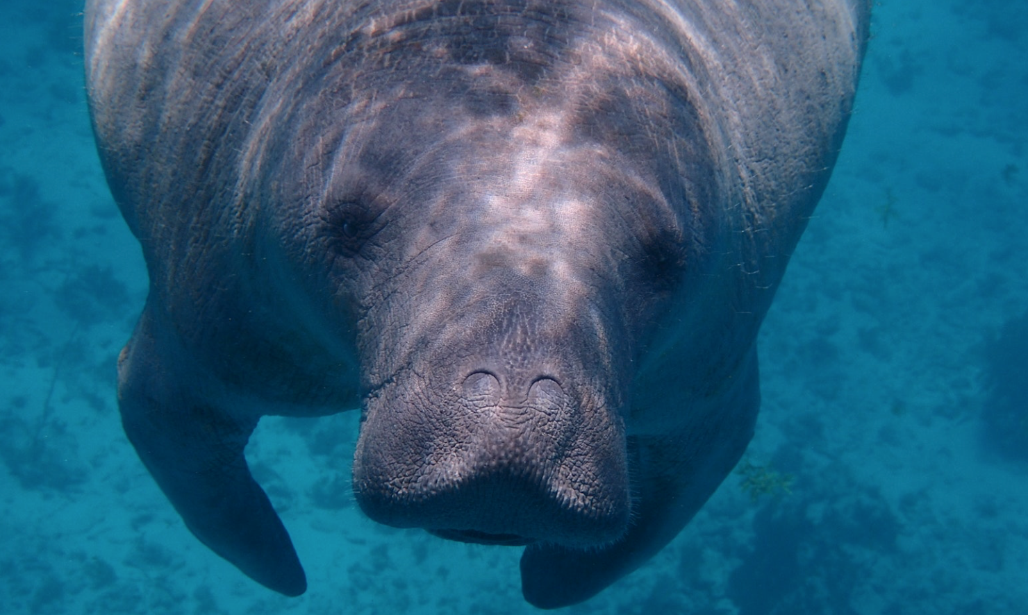 things-to-do-in-orlando-manatee